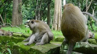 Natural Life Of Monkey In Forest Come To Live Angkor Park