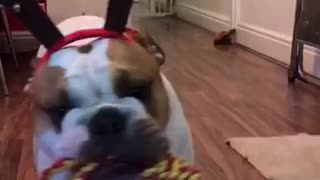 Jingle Bear, a Bulldog and his antlers - Video