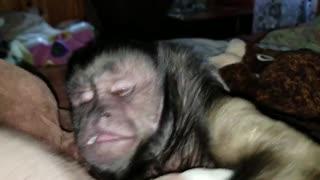 Lazy Monkey Refuses To Get Out Of Bed