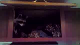 Coon in a cabinet