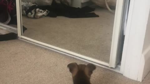 Puppy plays with reflection in the mirror