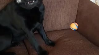 Black dog runs around room with remote in his mouth  - Video