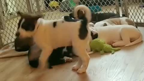 Energetic Puppy Tries To Wake Up Rest Of His Litter