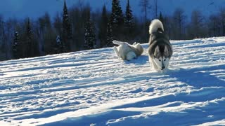 Husky Loves Snow! Snow dogs in their natural habitat