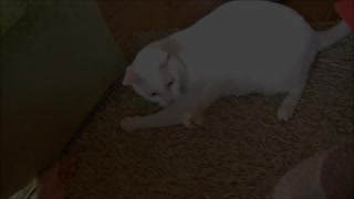 Cat torn between two different play toys - Video