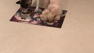 Dog eats with his ears  - Video