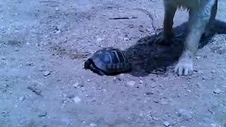 turtle and dogs - Video