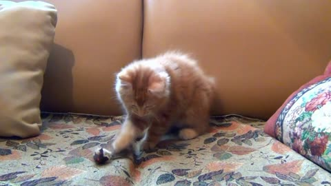 Kitten and his favorite toy