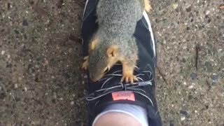 Scared Baby Squirrel Climbs up Human Leg - Video