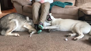 Husky Siblings Fight For The Place Under Owner's Legs - Video