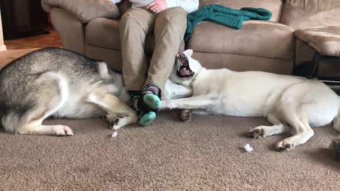 Husky Siblings Fight For The Place Under Owner's Legs