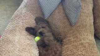 Cute dog on back plays with tennis ball in teddy bear lap