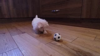 Westie Puppy's Epic Playtime With Mini Soccer Ball - Video
