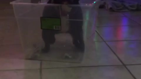 Small black bull dog is stuck in plastic container, jumps out