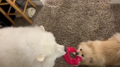 Small and big white fluffy dog play tug of war with red headband