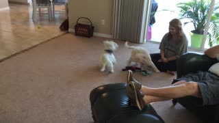 Adorable 10-week old Goldendoodle has play time - Video