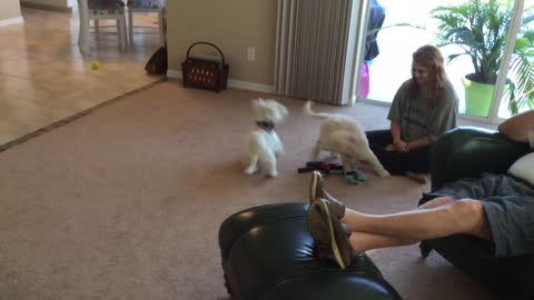 Adorable 10-week old Goldendoodle has play time