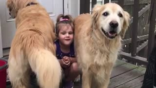 Little girl poses between two Golden Retrievers - Video
