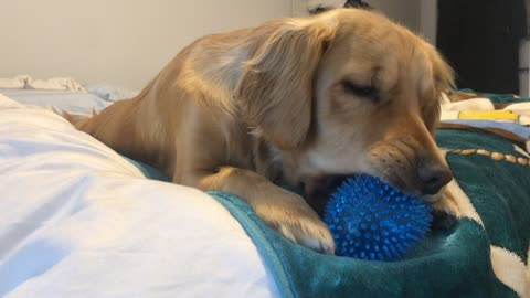 Golden Puppy Squeaker Toy Driving Grandma Mad