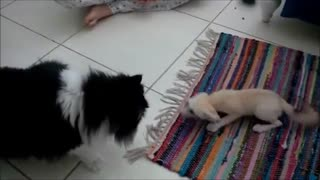 Fennec fox plays with cat - Video