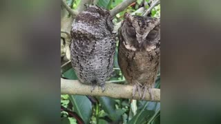 The Most Cutest Owl Ever Seen In The World - Video