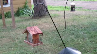 Chipmunk Tries Again and Again to Reach Bird Feeder