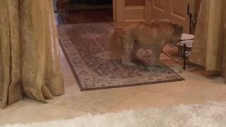 Brown dog running back and forth multiple times  - Video