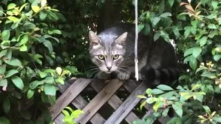Grey cat in bushes sits on brown fence  - Video