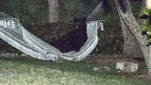 Bear lounges in Florida hammock - Video