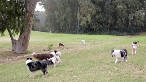 Dogs playing in the wild