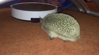 Hedgehog takes on robot vacuum