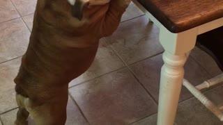 Gerald the Bulldog steals food from the table - Video
