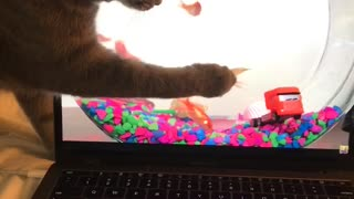 Cat tries to catch goldfish on laptop screen
