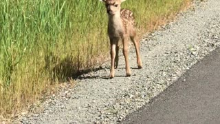 This Man Saw A Mama Deer And Fawns On The Highway And They Were Really Cute And Playful