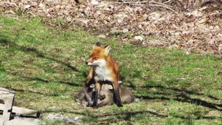 Fox and Family enjoy a sunny Good Friday morning - Video