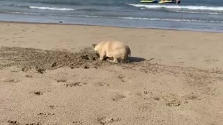 Simon the French Bulldog Digs the Beach
