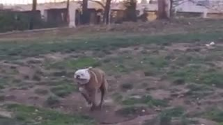 Slowmo white/brown bulldog runs across grass and trips - Video