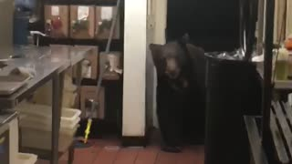 Bear Walks into Kitchen - Video