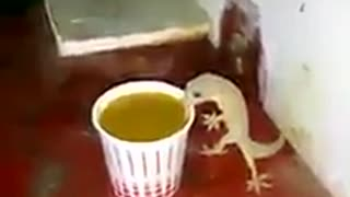 Lizards Drinking Tea, never seen before  - Video