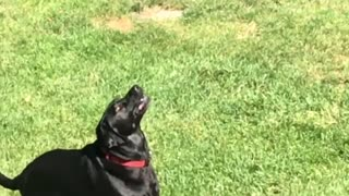 An Awesome Catcher Dog - Video