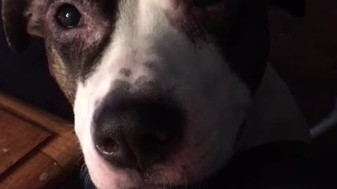 Listen to this hungry pup literally sing for scraps