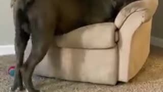 This huge dog uses cuteness to get its way