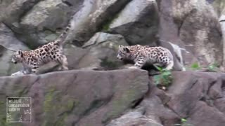Snow leopard cubs make Bronx Zoo debut - Video