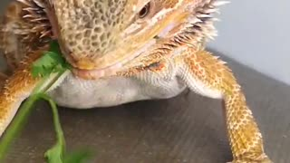 Bearded Dragon Duped into Diet