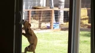 Tiny Dog Is Determined To Open Sliding Door - Video
