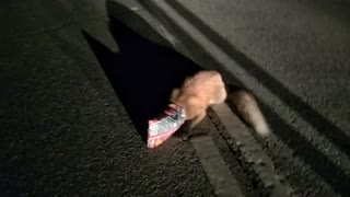 Fox in Trouble Rescued From Road