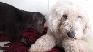 Patient dog entertains baby goat