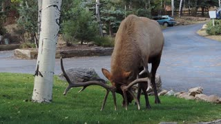 Massive bull elk thrashes neighbor's lawn - Video