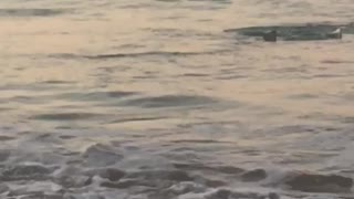 Shark at Sunset Swimming Through Waves