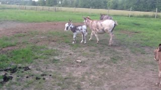 Baby Donkey Falls Asleep!!!!!! - Video